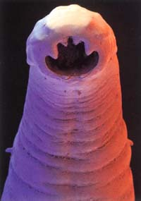 Hookworm2